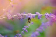收集在紫色花的土蜂花粉弄脏了背景 库存图片