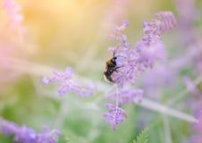 收集在紫色花的土蜂花粉弄脏了背景 免版税库存图片