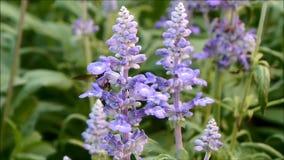 收集在美丽的开花的浅紫色的淡紫色的一只小的蜂花蜜开花 影视素材