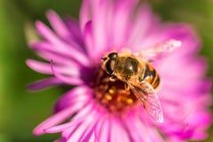 收集在翠菊的蜂的宏观摄影花粉 免版税库存图片