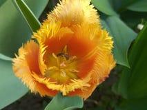 收集在花的花蜜 免版税库存照片