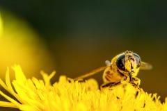 收集在蒲公英的蜂花粉 库存照片