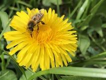 收集在蒲公英的蜂花蜜 免版税图库摄影