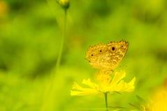 收集在黄色波斯菊花的黄色蝴蝶花蜜 库存照片