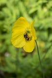 收集在黄色花的蜂花粉 免版税库存照片