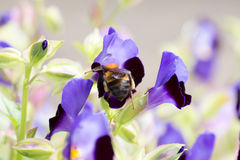 收集在torenia的蜂花粉 免版税图库摄影