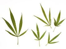 收集大麻 免版税库存照片