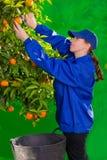 收集妇女的蜜桔橙色农夫 图库摄影