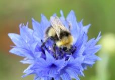 收集宏观花粉的蜂 免版税图库摄影