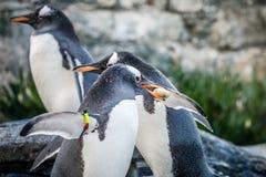 收集小的石头的企鹅 免版税图库摄影