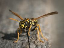 收集巢的欧洲纸质黄蜂木头 图库摄影