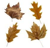 收集干燥叶子 免版税库存图片