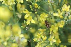 收集强奸花蜜由蜂的 免版税库存照片