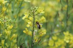 收集强奸花蜜由蜂的 库存照片