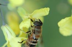 收集强奸花蜜由蜂的 免版税库存图片