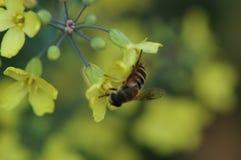 收集强奸花蜜由蜂的 图库摄影