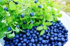 收集新鲜的狂放的蓝莓在森林里 免版税库存照片