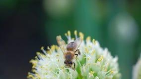 收集有花的一只蜂蜜蜂花蜜花粉在春天好日子