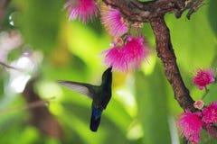 收集李子玫瑰色树的蜂鸟花蜜 库存图片