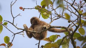收集果子的家神长臂猿 库存照片