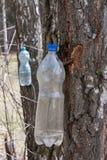 收集树汁的桦树 图库摄影