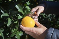 收集桔子的人从一棵橙树 库存照片