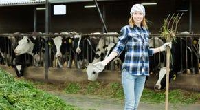 收集母牛的女性农夫草 免版税库存照片