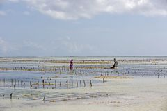收集海草, Uroa海滩,桑给巴尔,坦桑尼亚 库存图片