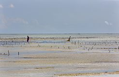 收集海草, Uroa海滩,桑给巴尔,坦桑尼亚 库存照片