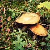 收集狂放的蘑菇 在Valaam海岛上的秋天 免版税库存图片
