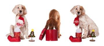 收集狗坐与圣诞节中看不中用的物品 免版税库存照片