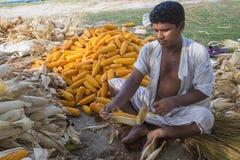 收集玉米收获, Thakurgaon,孟加拉国的工作者 库存照片
