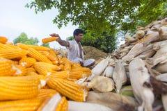收集玉米收获, Thakurgaon,孟加拉国的工作者 免版税图库摄影