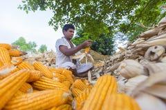 收集玉米收获, Thakurgaon,孟加拉国的工作者 库存图片