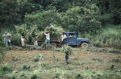 收集玉米,巴西的农业工作者 免版税库存照片
