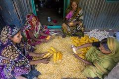 收集玉米, Manikgonj,孟加拉国的一些地方妇女 库存图片