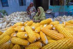 收集玉米, Manikgonj,孟加拉国的一些地方妇女 免版税库存图片