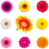 收集理想雏菊的gerber 免版税库存照片