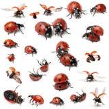 收集瓢虫七地点 库存图片
