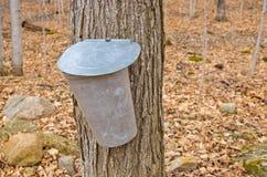 收集的槭树树汁桶 免版税图库摄影