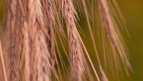 收集的麦子,黑麦剥落背景 r 有机面粉地下室 绿色旅游业概念 r 股票录像