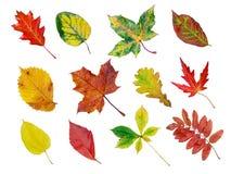 收集秋天叶子 图库摄影