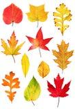 收集秋天叶子 库存照片