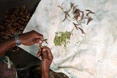 收集种植的当地人民种子 免版税库存照片