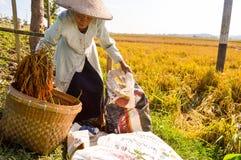 收集稻的年迈的农夫 图库摄影
