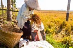 收集稻的年长农夫 库存图片
