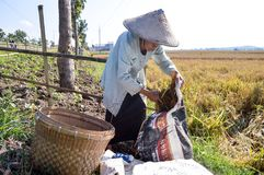 收集稻的年长女性农夫 免版税库存图片