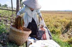 收集稻的老农夫 免版税库存图片