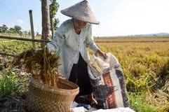 收集稻的老女性农夫 库存图片