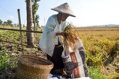 收集稻的资深农夫 库存图片